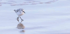 WILDLIFE WATCH Sanderlings