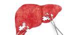 Liver Hormone Quells An Overactive Metabolism