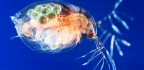 Toxic Diet Shields Water Fleas From Parasites