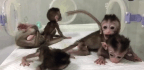 Chinese Scientists Successfully Clone Five Baby Monkeys After Editing Genes To Induce Mental Illness