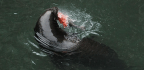 The Feeding Frenzy That Got Sea Lions Into Deep Trouble