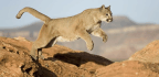 Colorado Runner Kills Mountain Lion In Self-Defense