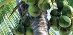 The Coconut Craze
