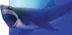 ¿sigue Vivo El Megalodón?