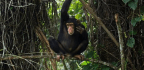 Chimpanzees 'Talk' Just Like Humans. It's Time To Realise How Similar We Are | Jules Howard