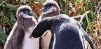 These Penguin Parents Are Weirdly Fair