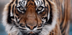 Tigers Don't Eat Humans, So Why Did This One Kill Over 400 People?
