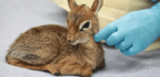 Chicago Zoo Euthanizes Baby Antelope Born With Birth Defect