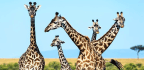 Life Near People Keeps Giraffes On The Move