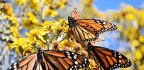 Mow Your Lawn To Give Monarchs A Fighting Chance