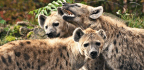 Hyena 'Royalty' Need Alliances To Stay On Top