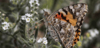 California Experiencing Burst Of Butterflies