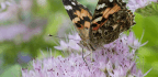 Why Millions Of Painted Lady Butterflies Are Migrating Through California