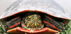 Rising Temps Could Devastate Painted Turtles