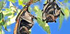 How Bats Harbor Viruses But Don't Get Sick
