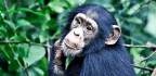 National Parks In Senegal May Save Chimps