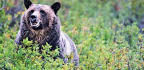 Huckleberry Maps Locate Hungry Grizzly Bears