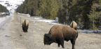 Fort Peck Tribes Fight For Surplus Yellowstone Bison
