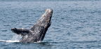 Barnacle 'GPS' Tracks Millions Of Years Of Whale Migration