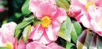Long-flowering Favourite