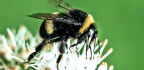 Bumble Bees See Huge Population Decline