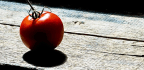 Wild Tomato Hairs Carry An All-natural Bug Repellant
