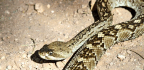 An Ancient Person Ate A Whole Rattlesnake. Why?