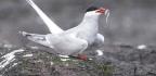 WILDLIFE WATCH Arctic terns