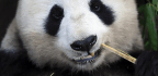 How Bamboo-eating Pandas Trick Their Bodies Into Thinking They Are Carnivores