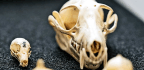 2 Factors Shaped Evolution Of Weird Bat Skulls