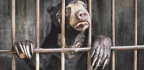 Sun Bear Behind Bars