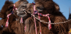 Where Camels Become Beauty Queens