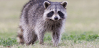 What You Need To Know About 'Zombie Raccoons' And How To Protect Your Pets