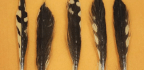 Why So Many Sharks Have Bird Feathers in Their Bellies
