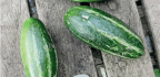 CUCUMBERS, But Not As You Know Them!