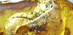 Amber Lump Holds Surprising 100M-year-old Creature