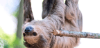 Two-toed Sloths Belong To An 'Extinct' Family