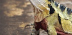 Lizard Of Oz