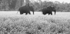 'Giants Of The Monsoon Forest' Explores The Lives Of Working Elephants In Asia