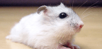 How Siberian Hamsters Lose Half Their Weight Each Year