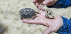Coat The Ravens Evermore? To Protect Tortoises, Officials Test Spraying Oil Into Birds' Nests
