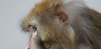Inhumane Or Unavoidable? As Congress Scrutinizes An Increase In Monkey Research, Scientists Defend Its Necessity
