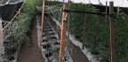 20 Tons Of Illegal Cannabis Seized Near Buellton In Santa Barbara County, Authorities Say