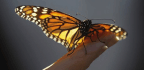 Monarch Butterflies Reared in Captivity Lack a Crucial Ability