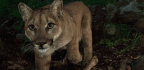 California's Mighty Predator — The Mountain Lion — Faces 'Extinction Vortex'