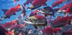 Sockeye Salmon Are Leaving Home A Year Early