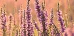 Salicaria, La Planta Antidiarreica