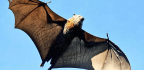 Can Cancer Defense In Bats Lead To Better Chemo?