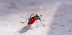This May Be Mosquitoes' Secret Weapon Against Malaria