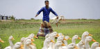 To Survive in a Wetter World, Raise Ducks, Not Chickens